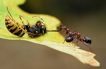 images/stories/ants-wasp-pulling-468.jpg